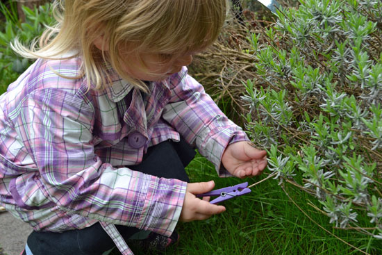 Clipping the lavender again.