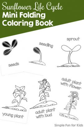 Sunflower Life Cycle Mini Folding Coloring Book
